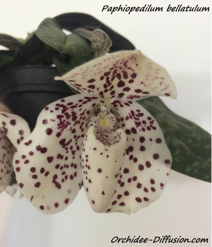 Paphiopedilum bellatulum Bellatulum-achat-vente-orchidee
