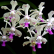Achat vente orchidee botanique vanda luzonica