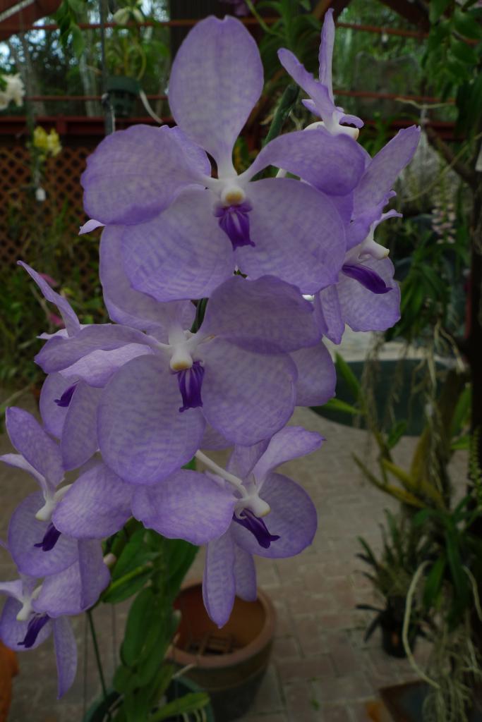 Orchideen Vanda