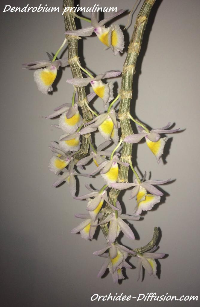Orchidee Dendrobium primulinum