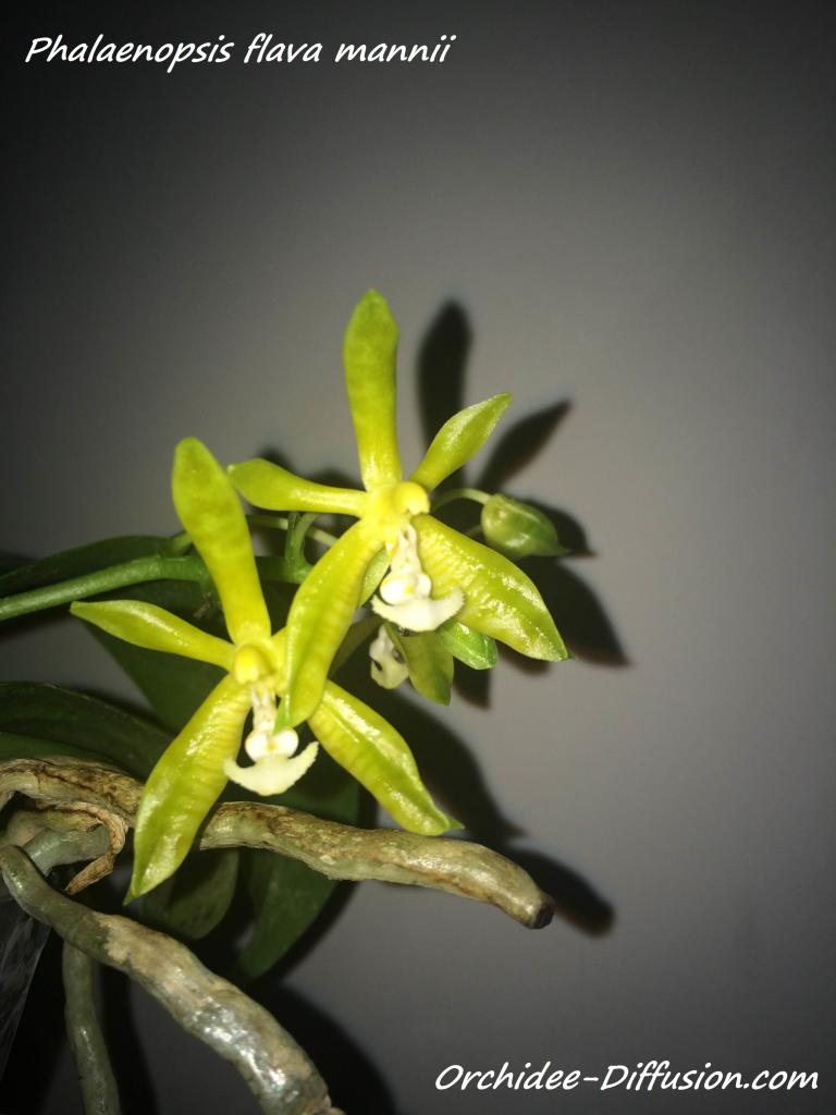 Phalaenopsis flava mannii