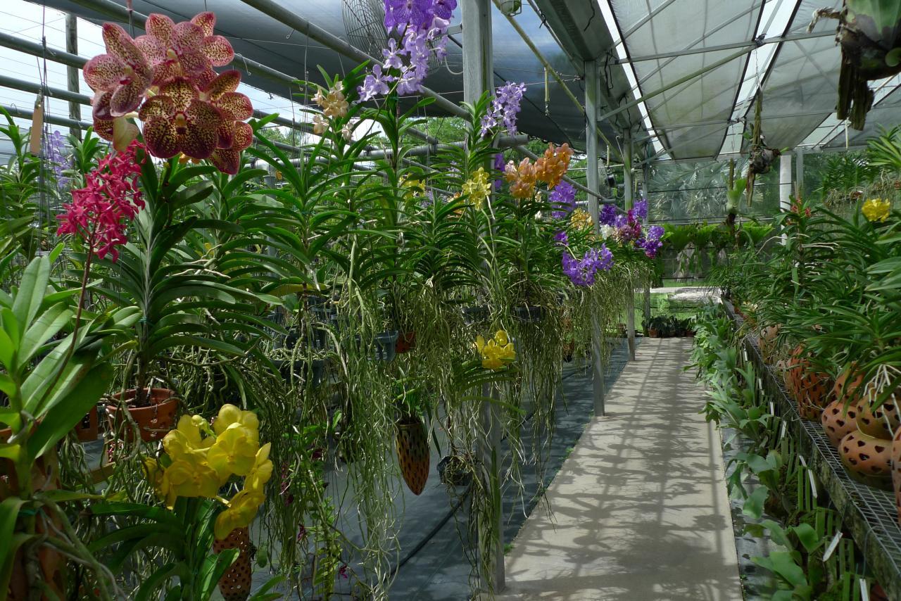 vanda farm orchid orchideen