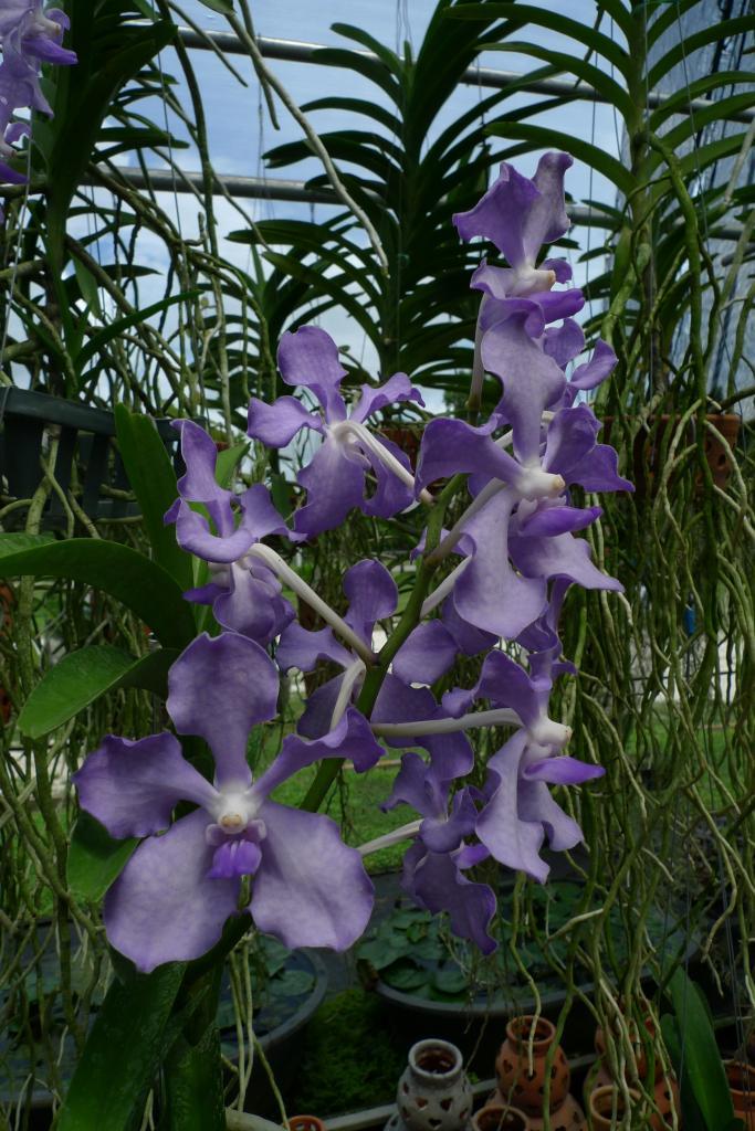 vanda orchidee (2)