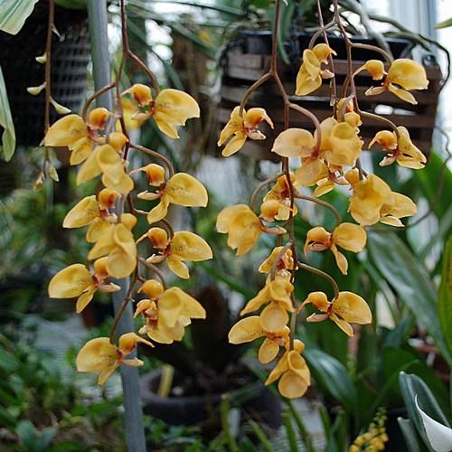 0 gongora armeniaca orchidee
