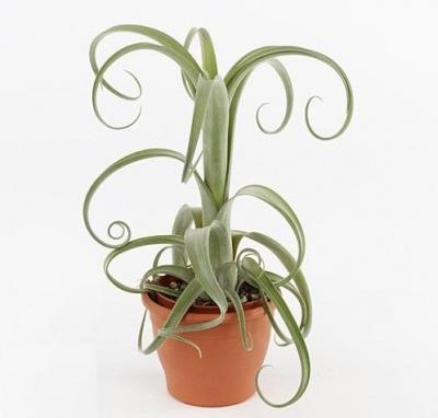 Tillandsia 'Curly Slim'
