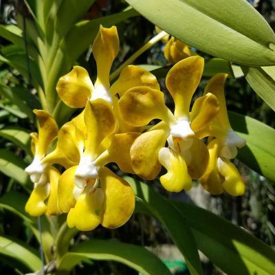 Orquídea Vanda Mem. Tienchai X Vanda Kultana Fragrance