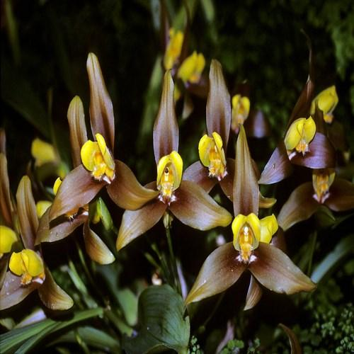 Orchid Lycaste lasioglossa