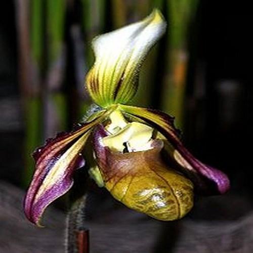 Orchid Paphiopedilum sangii