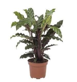 3 x plantes vertes d interieur calathea velours