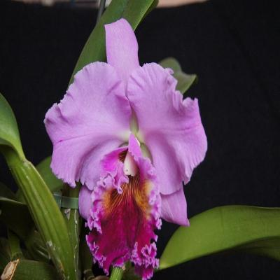 Orchidée Cattleya Petch Ratchasima