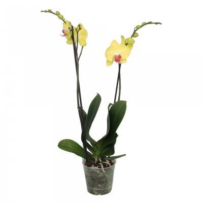 Orchidea Phalaenopsis 2 rami gialli