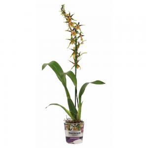 43372 orchidee brassia mystic maze 1 tige 2