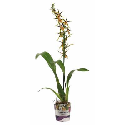 Orquídea Brassia  Mystic Maze