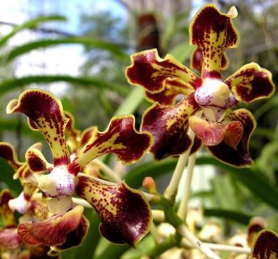 Orchidea Vanda Merilii x Vanda Denisoniana