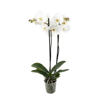 Orchid Phalaenopsis 2 stucks white