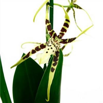 Orquídea Brassia Tessa
