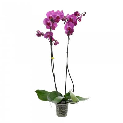 Orchidée Phalaenopsis 2 branches mauves