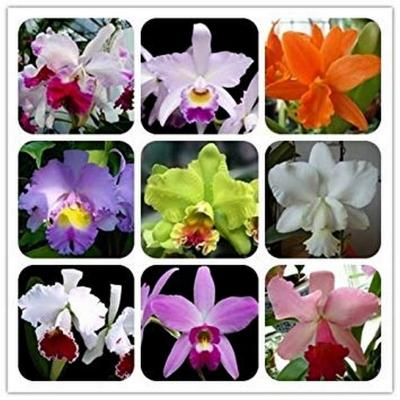Lot 10 Cattleya MIX