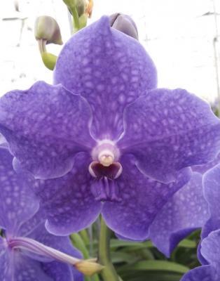 Orhidee Vanda Violet Blue