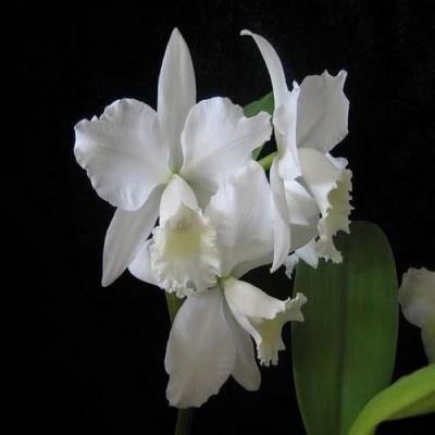 Orchidea Cattleya hybrid white