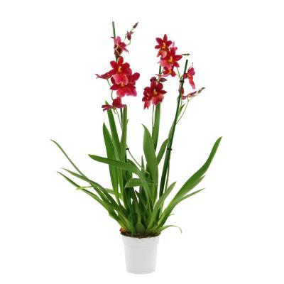 Orquídea Cambria burrageara