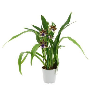 Orchid Zygopetalum hybride