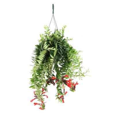 Aeschynanthus hybride