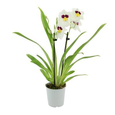 Orhidee Miltonia white