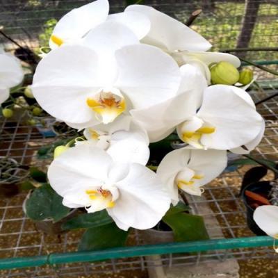 Orchidée Phalaenopsis 1 branche blanc