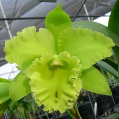 Orquídea Cattleya hybride green