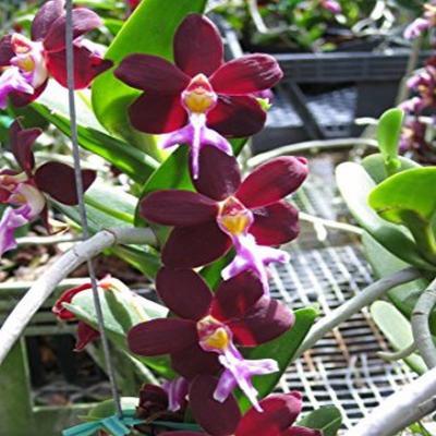 Orchidée Trichoglottis brachiata