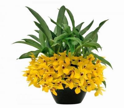 Orchid Promenaea sunlight