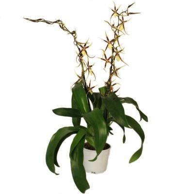 Orchid Brassia Tessa