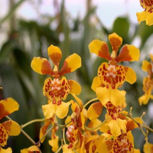 A and b larsen orchids oncidium divaricatum dscn1549