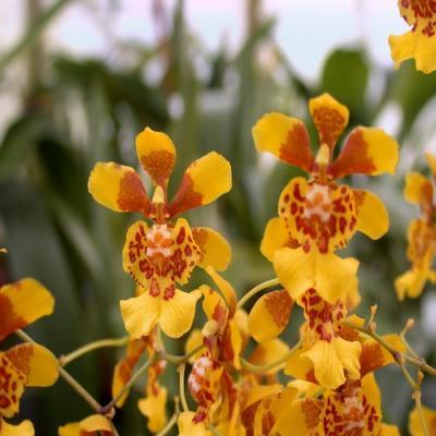 Orchid Oncidium divaricatum