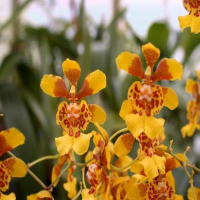 Orchidée Oncidium divaricatum