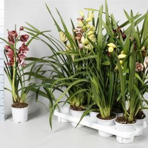 3 Orchidées Cymbidium hybride Mix