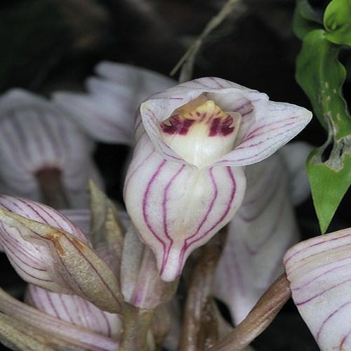 Orchidee Acanthephippium striatum