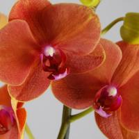 Achat vente orchidee fleurie phalaenopsis surf song