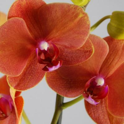 Orchidée Phalaenopsis 2 branches surf song