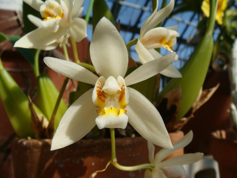 Orquídea Coelogyne lactea