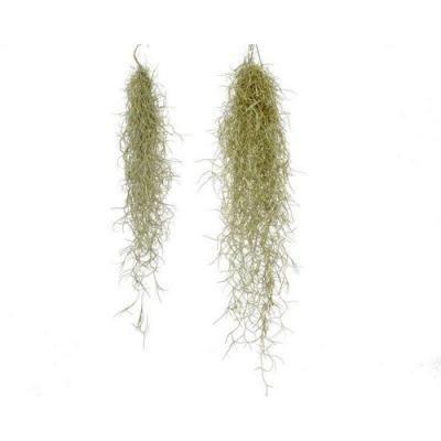 Achat vente tillandsia usneoides 50 60cm barbe du vieillard