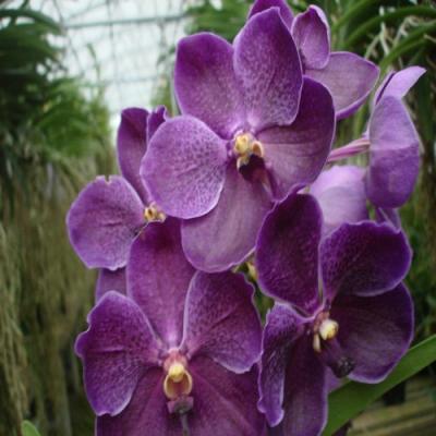 Orchidée Vanda adisak x V. Patcharee's Delight