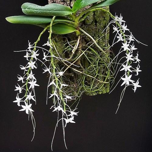 Orquídea Aerangis articulata
