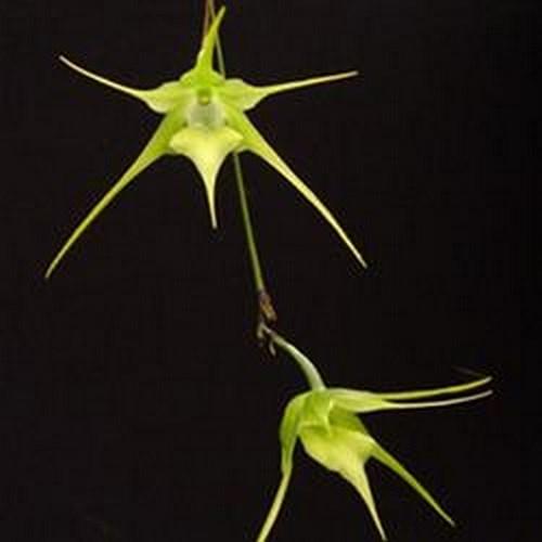 Aeranthes grandiflora orchidee vente fleur plante achat