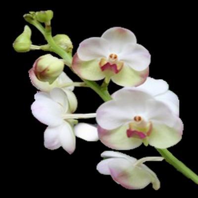 Orchidee Aerdv. Luang Prabang