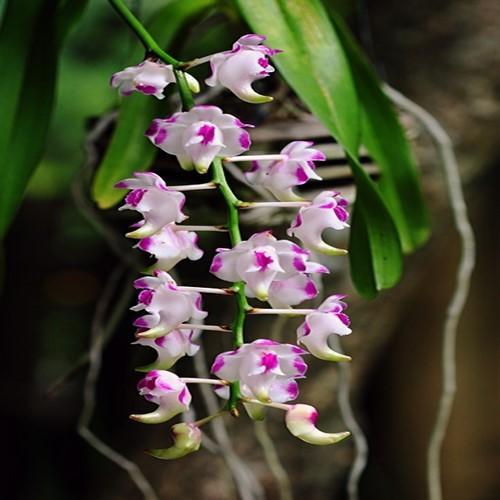 Orquídea Aerides lawrenceana