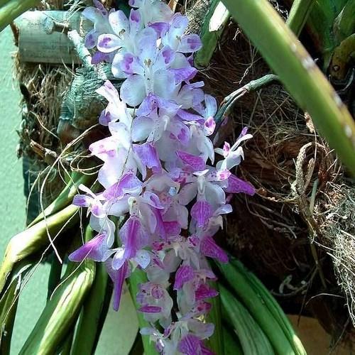 Orchid Aerides multiflorum