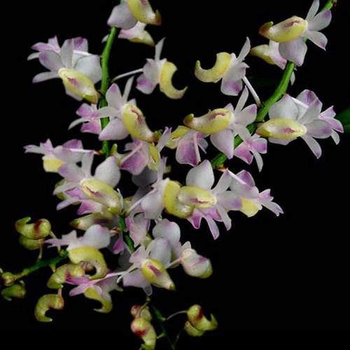 Orchid Aerides odorata