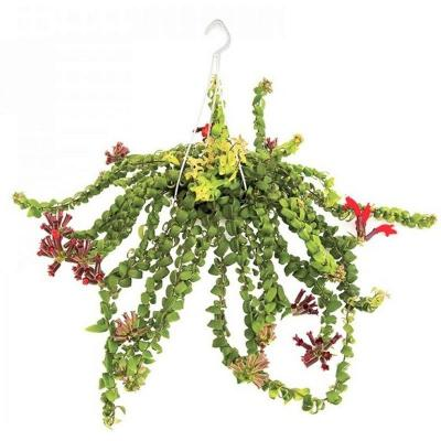 Aeschynanthus hybrid